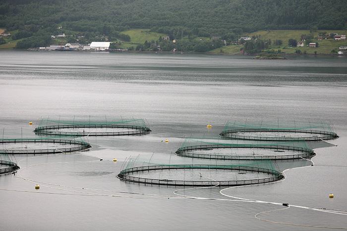 des élevages de saumon…