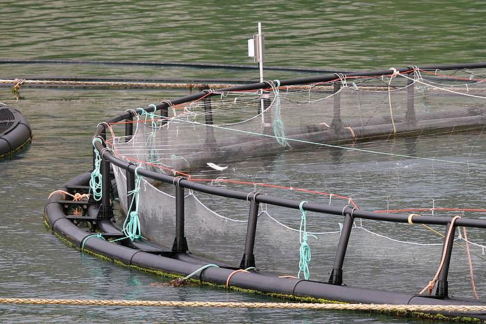 on voit plein de saumons sauter hors de l'eau