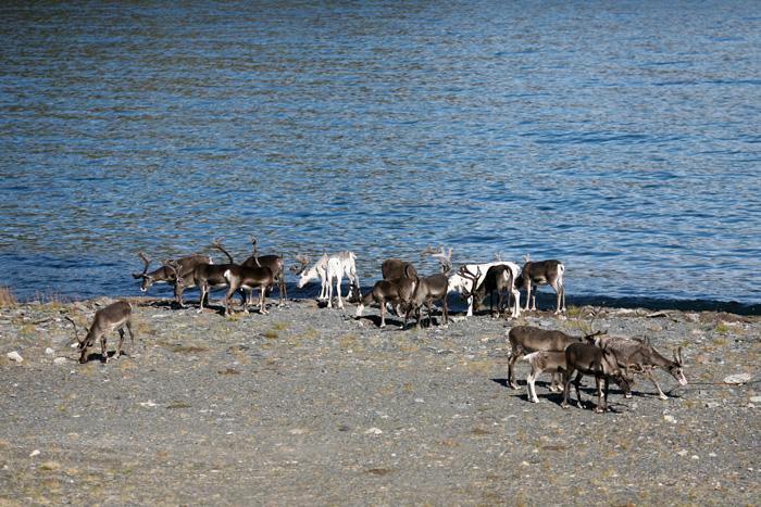 On rencontre encore un troupeau de rennes au bord de l'eau