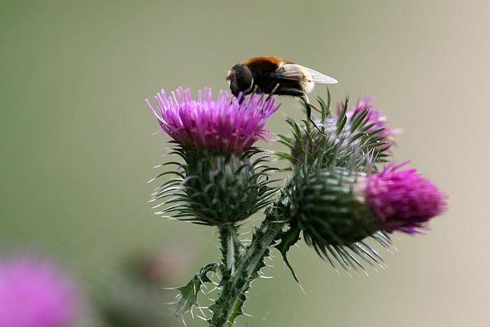 et des abeilles qui butinent