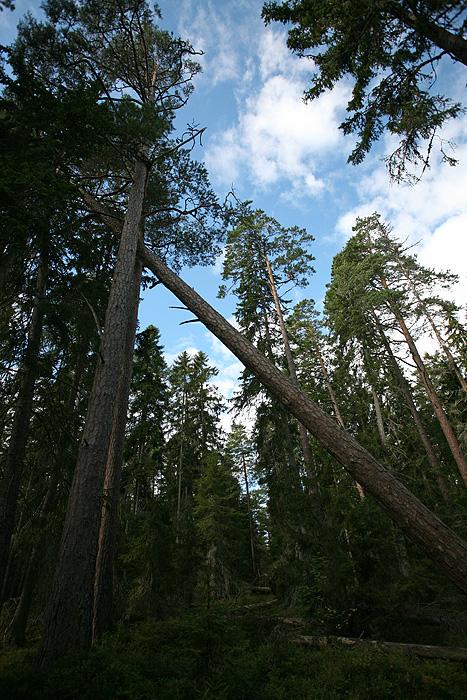 Deux arbres qui se font un câlin. D'ailleurs, ça grinçait fort !