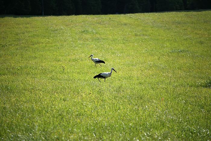 on trouve deux cigognes dans le champ