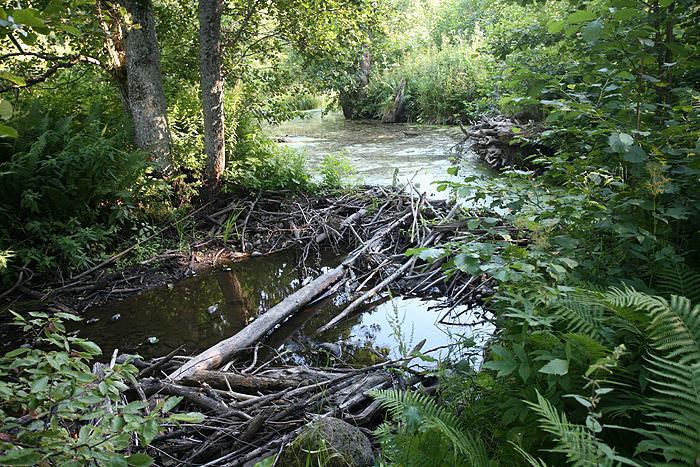 Bon, alors on a pu voir deux barrages réalisés par nos amis castors.
