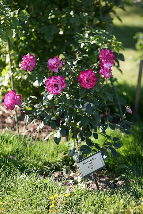 """Un bosquet est réservé pour les roses. Pourquoi une rose """"Muriel ROBIN"""" ici ???"""