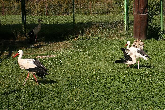 Les pauvres cigognes ont des ailes cassées. Du coup elles sont dans une cage ouverte...
