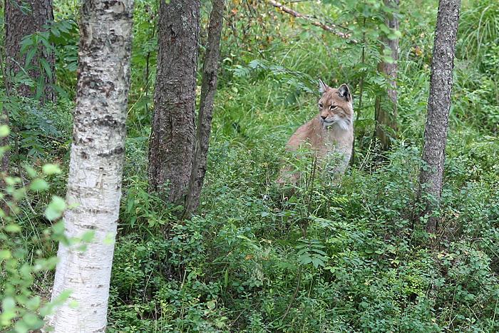 un lynx qu'il a fallu chercher longtemps avant de trouver