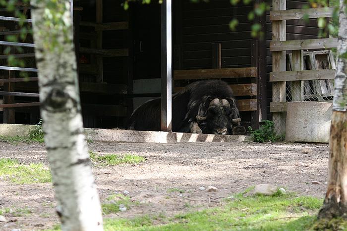un boeuf musqué (animal assez rare dans le coin) qui n'a pas daigné lever son gros derrière pour venir nous saluer (on aurait bien aimé le voir de plus près pourtant)